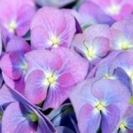 The Hydrangea - Pretty Flower And Wonder Drug