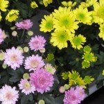 Chrysanthemum Extract For Cancer?