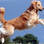 Golden Retrievers Key to Muscular dystrophy?