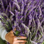 Lavender – Fragrant and Curative