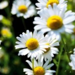 Herbs for Anxiety - German Chamomile