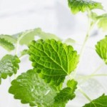 Herbs for Anxiety - Lemon Balm