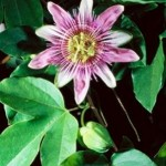 Herbs for Anxiety - Passion Flower