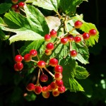 Why Treat Menstrual Pain with Viburnum