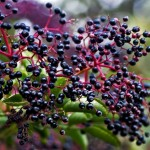 healing power of elderberry