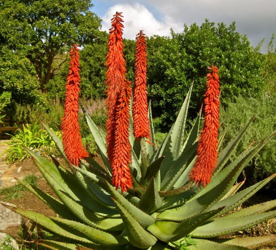 health benefits of aloe ferox