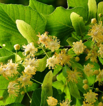 Benefits-of-Linden